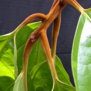 Pleurothyrium sp.2 ('hoja_grande') Leaf