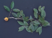 Plinia 'cerrojefe' Fruit Leaf