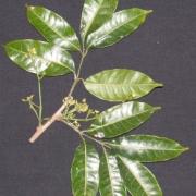 Protium aff. guianense Flower Leaf
