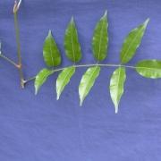 Protium aff. guianense Leaf