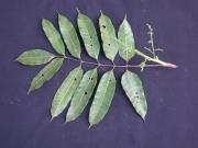 Protium tenuifolium subsp. mcleodii Flower Leaf