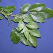 Protium trifoliolatum Leaf