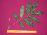 Pseudima sp.2 Leaf