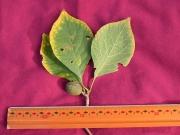 Randia 'campo_chagres' Fruit Leaf