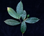 Rinorea p19 Fruit Leaf