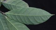 Rinorea p19 Leaf