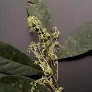 Rinorea aff. apiculata Flower