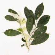 Rinorea aff. apiculata Flower Leaf