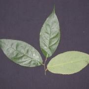 Rinorea aff. apiculata Leaf