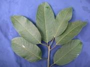 Sapium 'broadleaf' Leaf