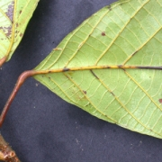 Sloanea tuerckheimii Leaf