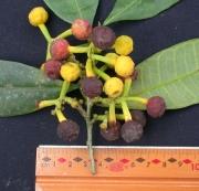 Sorocea pubivena subsp oligotricha Fruit