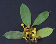 Sorocea pubivena subsp oligotricha Fruit Leaf