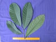 Sorocea pubivena subsp pubivena Leaf