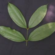 Strychnos sp.1 Leaf