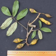 Swartzia aff. sumorum Fruit Leaf
