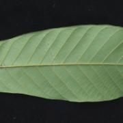 Unonopsis 'peludo' Leaf