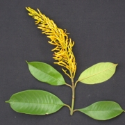 Vochysia sp.1 Flower Leaf