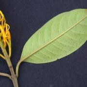 Vochysia sp.1 Leaf