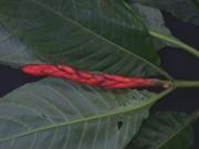 Aphelandra campanensis Flower