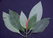 Aphelandra campanensis Flower Leaf