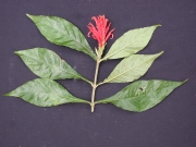 Aphelandra scabra Flower Leaf