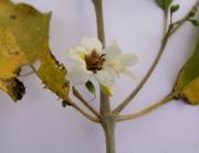 Bravaisia integerrima Flower
