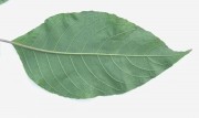 Trichanthera gigantea Leaf