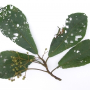 Saurauia montana Fruit Leaf