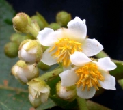Saurauia rubiformis Flower