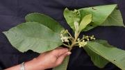 Saurauia rubiformis Flower Leaf