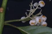 Saurauia yasicae Flower