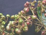 Saurauia yasicae Fruit