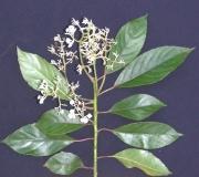 Saurauia yasicae Flower Leaf