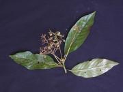 Saurauia yasicae Fruit Leaf