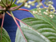 Saurauia yasicae Leaf