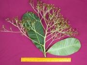 Anacardium excelsum Flower Leaf