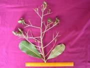 Anacardium excelsum Fruit Leaf