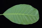 Anacardium excelsum Leaf