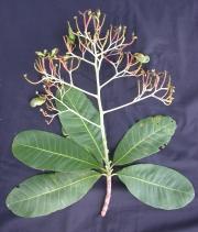 Anacardium excelsum Flower Fruit Leaf