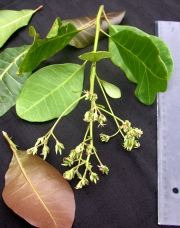 Anacardium occidentale Flower Leaf