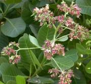 Anacardium occidentale Flower Leaf