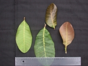 Anacardium occidentale Leaf