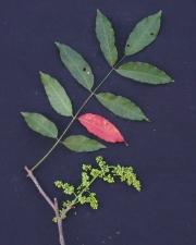 Astronium graveolens Flower Leaf