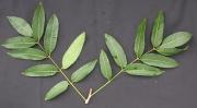 Astronium graveolens Leaf