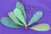 Campnosperma panamense Fruit Leaf