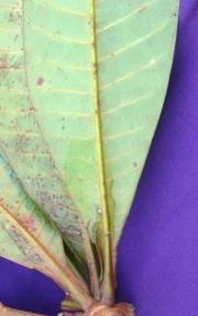 Campnosperma panamense Leaf