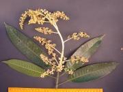 Mangifera indica Flower Leaf