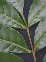 Mosquitoxylum jamaicense Leaf