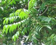 Spondias radlkoferi Fruit Leaf
